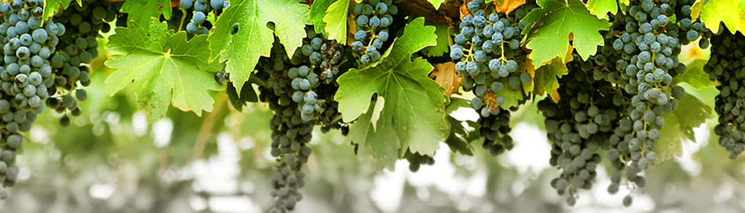 Chalkers Crossing Wine Grapes
